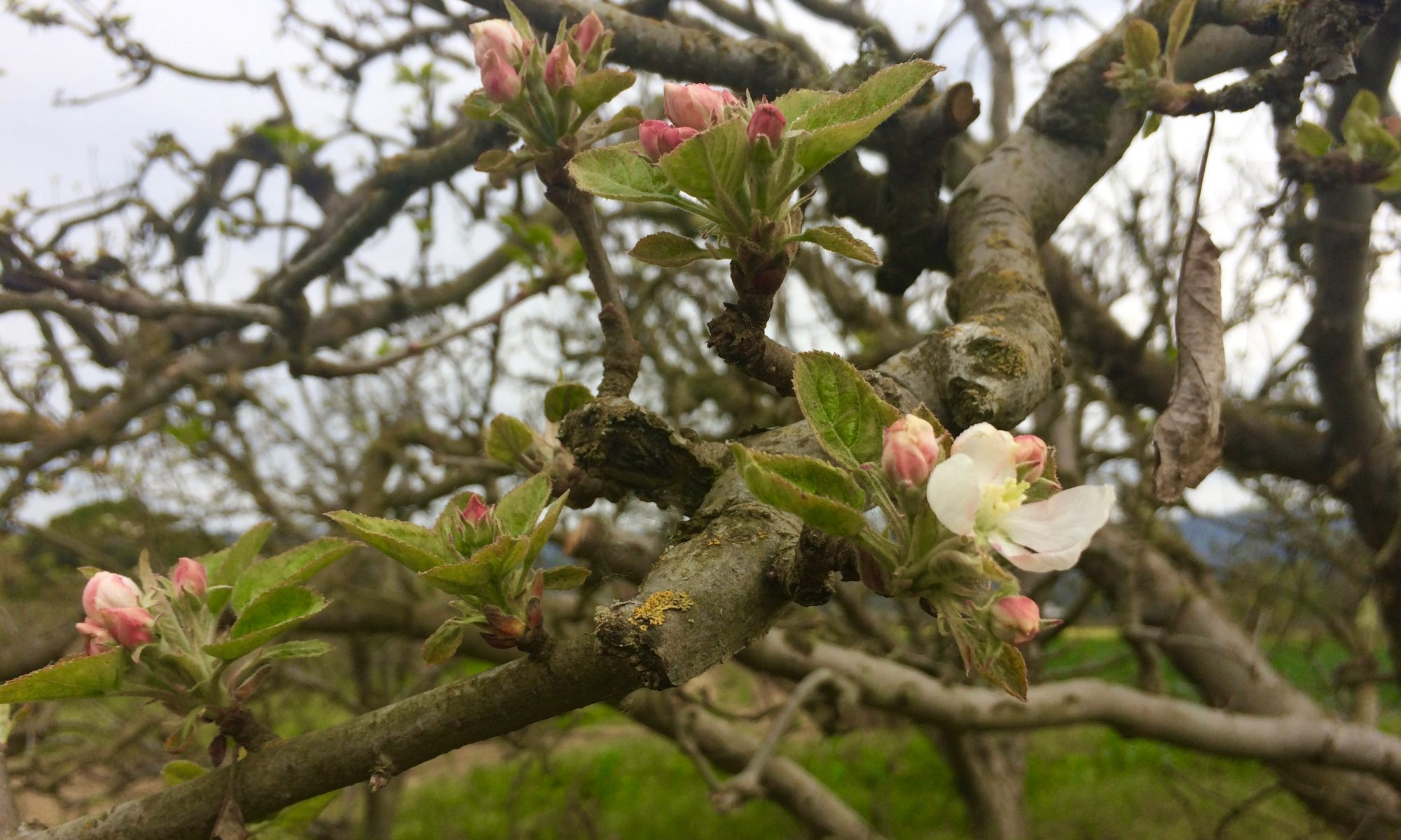 picture of springtime apple blossoms